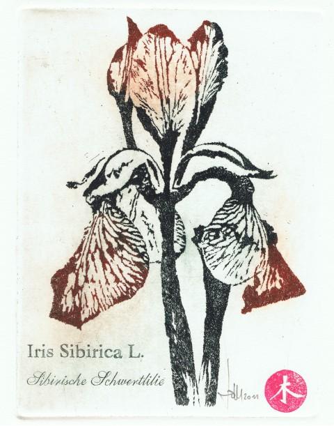 iris-small